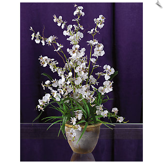 White Dancing Lady Orchid in Pot